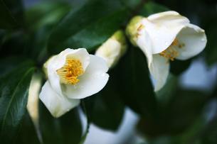 椿・白い一重咲きの花の写真素材 [FYI04632976]