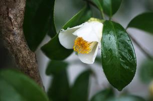 椿・白い一重咲きの花の写真素材 [FYI04632977]