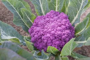 畑で栽培されている紫カリフラワーの写真素材 [FYI04632978]