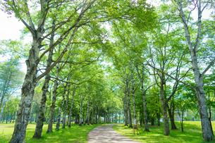 白樺の並木道の写真素材 [FYI04633034]
