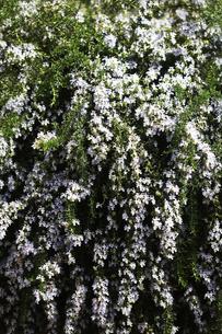 ハーブ・ローズマリーの花の写真素材 [FYI04633064]