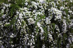 ハーブ・ローズマリーの花の写真素材 [FYI04633065]