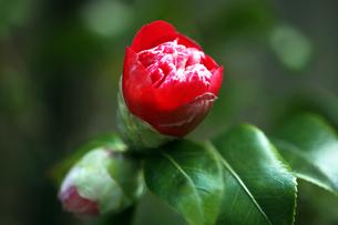 椿・紅卜伴の花の写真素材 [FYI04633067]