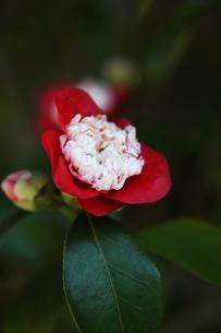 椿・卜伴の花の写真素材 [FYI04633068]