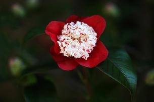 椿・卜伴の花の写真素材 [FYI04633069]