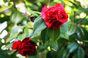 椿・アカコシミノの花の写真素材 [FYI04633072]
