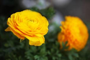 黄色いラナンキュラスの花の写真素材 [FYI04633075]