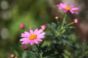 マーガレット・ピンク色の花の写真素材 [FYI04633076]