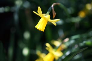黄色いミニ水仙の花の写真素材 [FYI04633077]