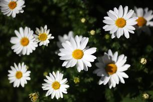 クリサンセマムの白い花の写真素材 [FYI04633086]