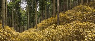 ミツマタ群生地 パノラマの写真素材 [FYI04633235]
