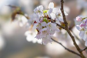 桜の写真素材 [FYI04633256]