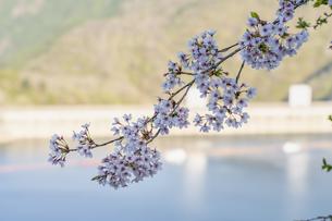 桜とダムの写真素材 [FYI04633258]