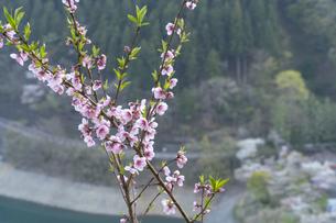 桜とダムの写真素材 [FYI04633262]