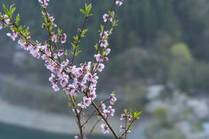桜とダムの写真素材 [FYI04633263]