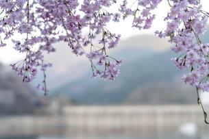 桜とダムの写真素材 [FYI04633265]