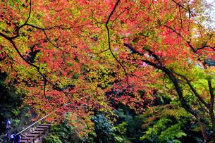 箕面の紅葉と階段の写真素材 [FYI04633267]
