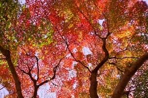 タモミジの紅葉と木の写真素材 [FYI04633286]