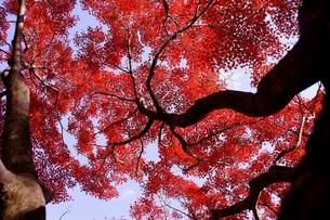 イロハモミジの紅葉と青空の写真素材 [FYI04633287]