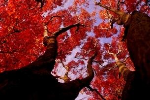 イロハモミジの大木の紅葉と青空の写真素材 [FYI04633288]