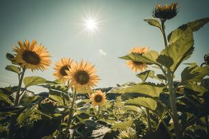 真夏の太陽の下のひまわりの写真素材 [FYI04633323]