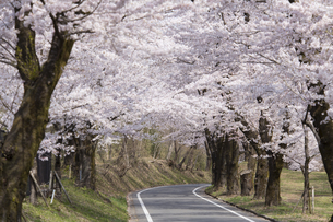 赤城南面千本桜の写真素材 [FYI04633335]