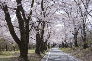 赤城南面千本桜の写真素材 [FYI04633339]