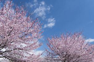 桜と青空の写真素材 [FYI04633344]
