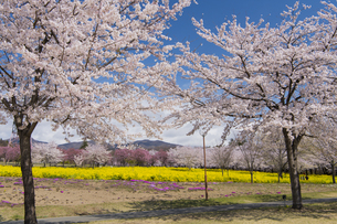 赤城南面千本桜の写真素材 [FYI04633346]