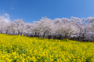 赤城南面千本桜の写真素材 [FYI04633355]