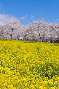 赤城南面千本桜の写真素材 [FYI04633356]
