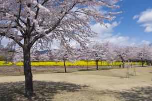 赤城南面千本桜の写真素材 [FYI04633357]