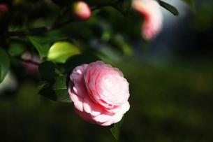 椿・千重咲きの花の写真素材 [FYI04633423]