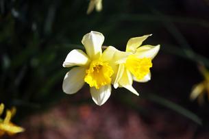 黄色いラッパ水仙の花の写真素材 [FYI04633424]
