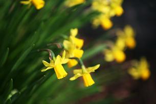 黄色いミニ水仙の花の写真素材 [FYI04633425]