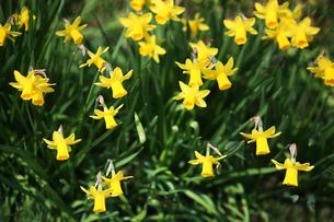 黄色いミニ水仙の花の写真素材 [FYI04633426]