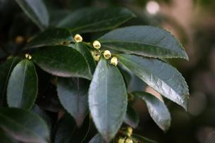 ヒサカキの小さな花の写真素材 [FYI04633429]