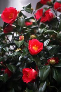 咲き分け椿の花の写真素材 [FYI04633430]
