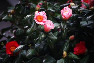 咲き分け椿の花の写真素材 [FYI04633431]