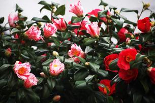 咲き分け椿の花の写真素材 [FYI04633432]