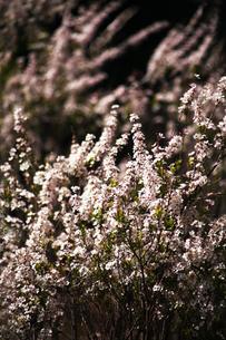 ベニバナユキヤナギの花の写真素材 [FYI04633436]