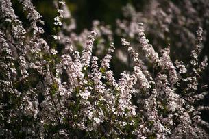 ベニバナユキヤナギの花の写真素材 [FYI04633437]