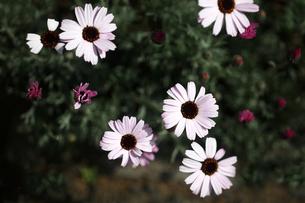 オステオスペルマムの花の写真素材 [FYI04633439]
