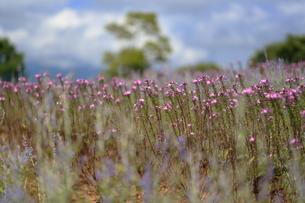 クレオメの花畑の写真素材 [FYI04633446]