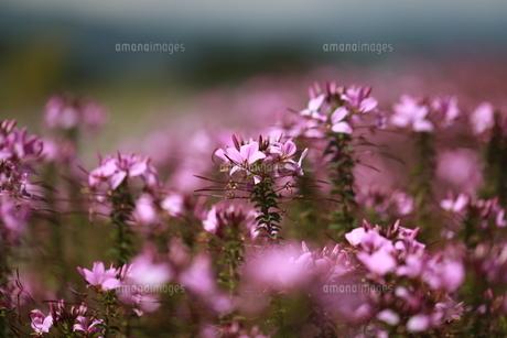 クレオメの花畑の写真素材 [FYI04633447]