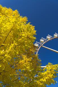 黄色く染まった葉っぱと観覧車の写真素材 [FYI04633489]