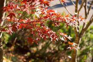 豊平峡の赤く色付いた紅葉の写真素材 [FYI04633588]