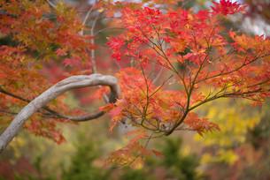 赤く染まった庭園の紅葉の写真素材 [FYI04633589]