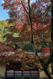 箕面の紅葉する木の写真素材 [FYI04633624]