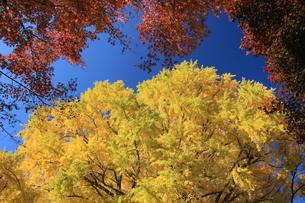 銀杏 黄葉 神宮 東京の写真素材 [FYI04633655]